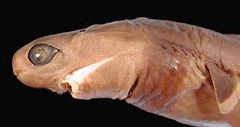 Cookiecutter shark Cookiecutter shark Wikipedia