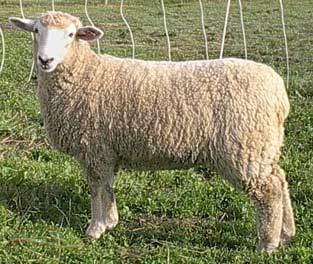 Coopworth sheep Home Page American Coopworth Registry