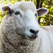 Coopworth sheep wwwamericancoopworthregistryorgHeaderSqImagejpg