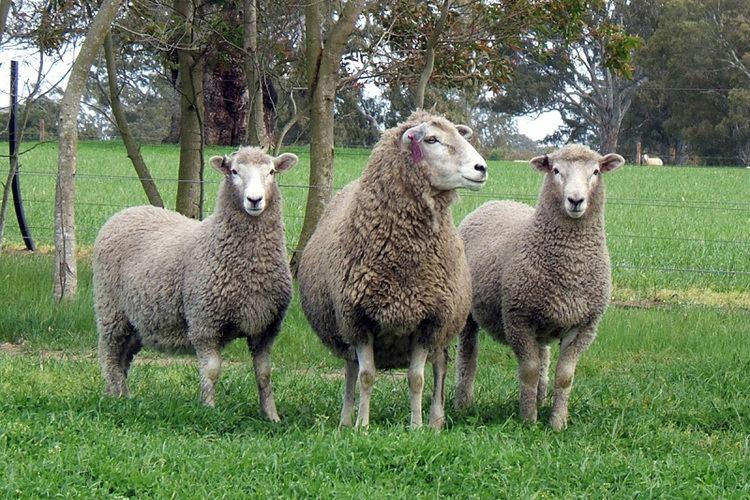 Coopworth sheep Coopworth Genetics Australia Home