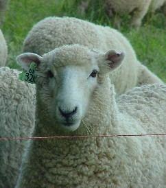 Coopworth sheep Otago Coopworth Sheep Breeders