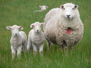 Coopworth sheep Clifton Hill Coopworth Sheep Stud superior high index maternal