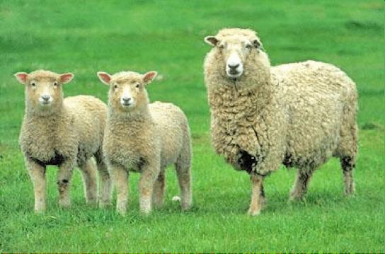 Coopworth sheep Coopworth The Spinning Loft