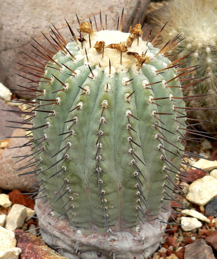Copiapoa httpsuploadwikimediaorgwikipediacommons22