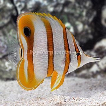 Copperband butterflyfish wwwliveaquariacomimagescategoriesproductp68