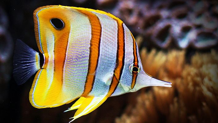 Copperband butterflyfish You Can Succeed with the Copperband Butterflyfish