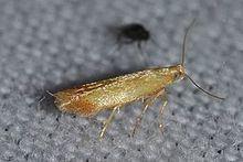 Coptotriche citrinipennella httpsuploadwikimediaorgwikipediacommonsthu