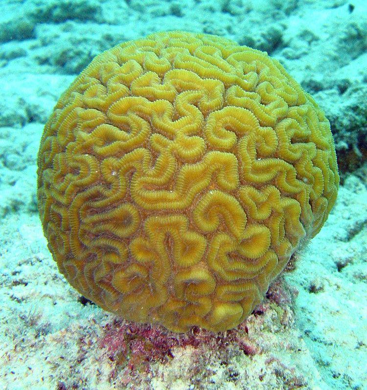 Coral Coral Wikipedia