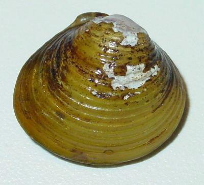 Corbicula fluminea httpsuploadwikimediaorgwikipediacommons55