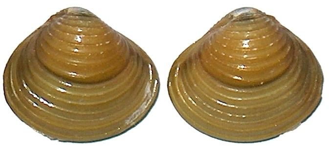Corbicula fluminea CORBICULIDAE