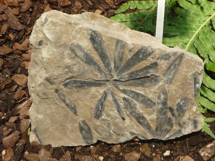 Cordaites FileJardin des plantes Paris leaf Cordaites lungatusJPG