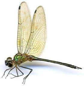 Corduliidae Corduliidae