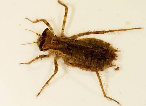 Corduliidae Odonata Corduliidae Tetragoneuria semiaquaea Epitheca semiaquea