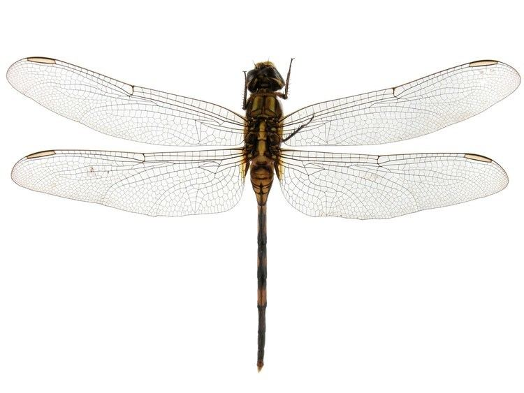 Corduliidae