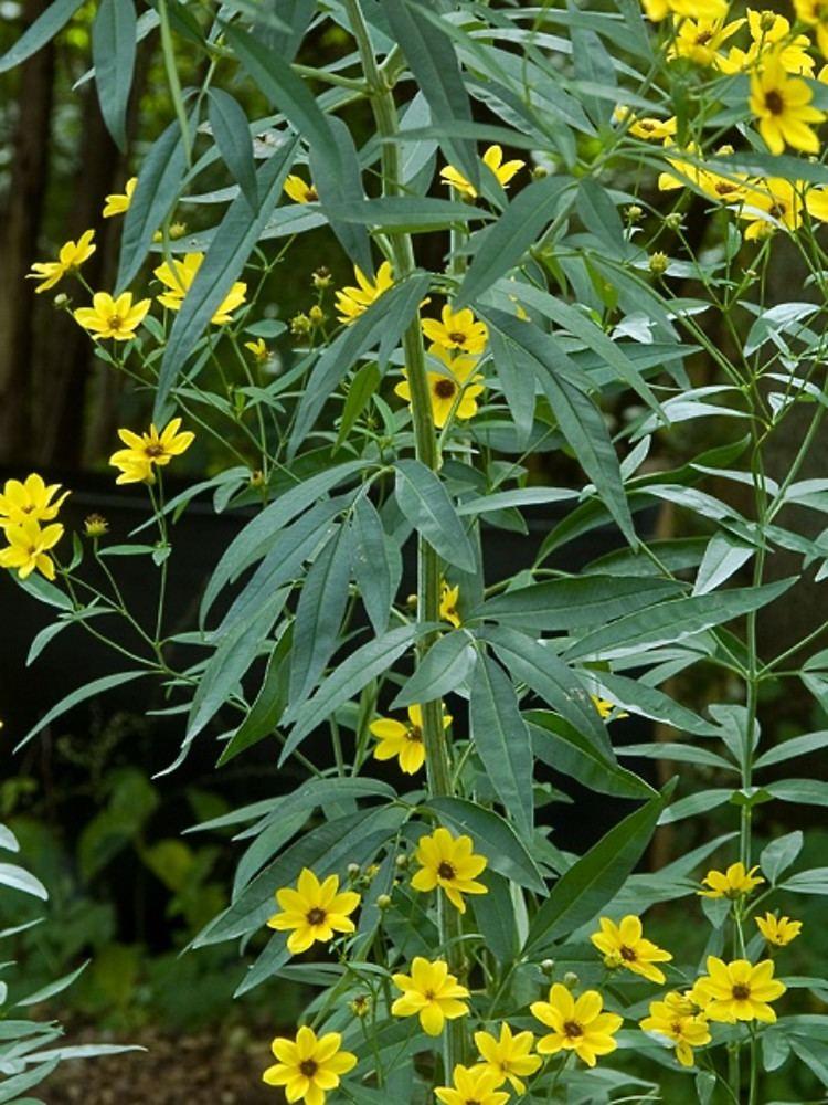 Coreopsis tripteris Coreopsis tripteris tall tickseed Go Botany