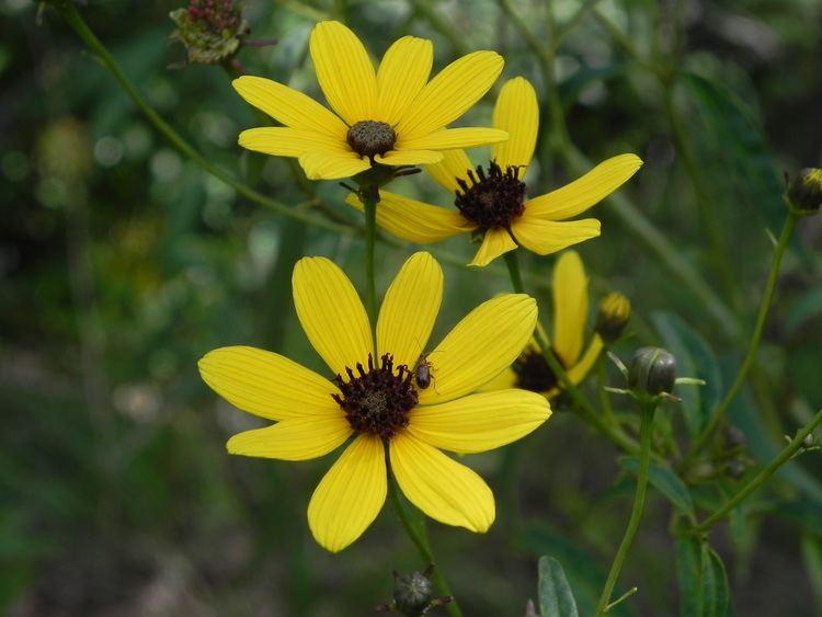 Coreopsis tripteris Wildflower Tall Coreopsis Coreopsis tripteris Ghost Town Trail