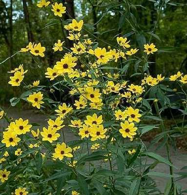 Coreopsis tripteris Online Virtual Flora of Wisconsin Coreopsis tripteris