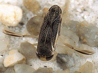 Corixidae Corixidae
