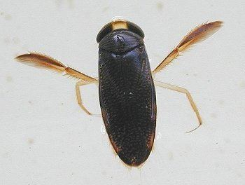 Corixidae Family Corixidae ENT 425 General Entomology