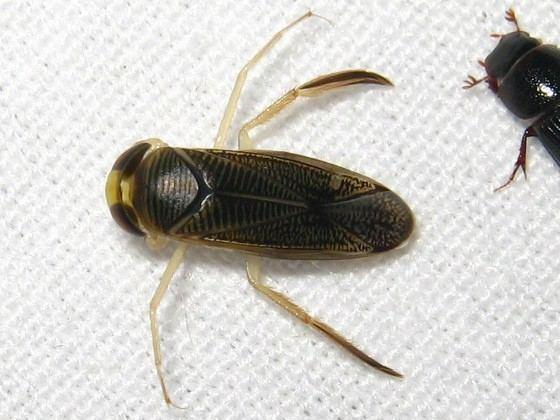 Corixidae corixidae to genus BugGuideNet