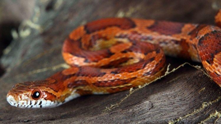 Corn snake - Alchetron, The Free Social Encyclopedia