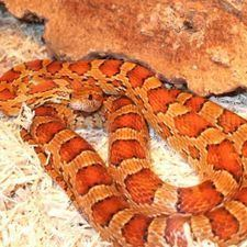 Corn snake - Alchetron, The Free Social Encyclopedia