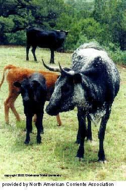 Corriente cattle Breeds of Livestock Corriente Cattle Breeds of Livestock