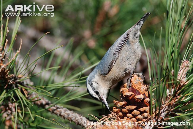 Corsican nuthatch Corsican nuthatch videos photos and facts Sitta whiteheadi ARKive