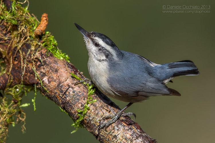 Corsican nuthatch Surfbirds Online Photo Gallery Search Results