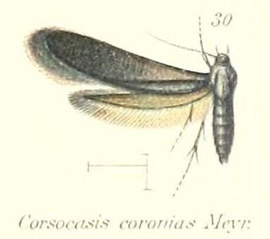 Corsocasis