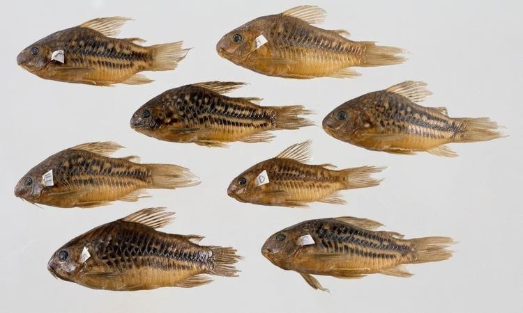 Corydoras undulatus artedinrmsenrmfishimagestNRM31483jpg