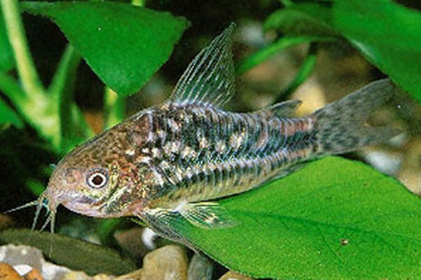 Corydoras undulatus Undulatus corydoras Catfish Fish Smiths Aquarium
