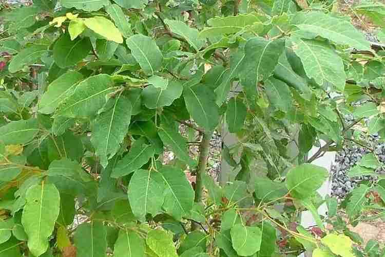 Corymbia torelliana Corymbia torelliana