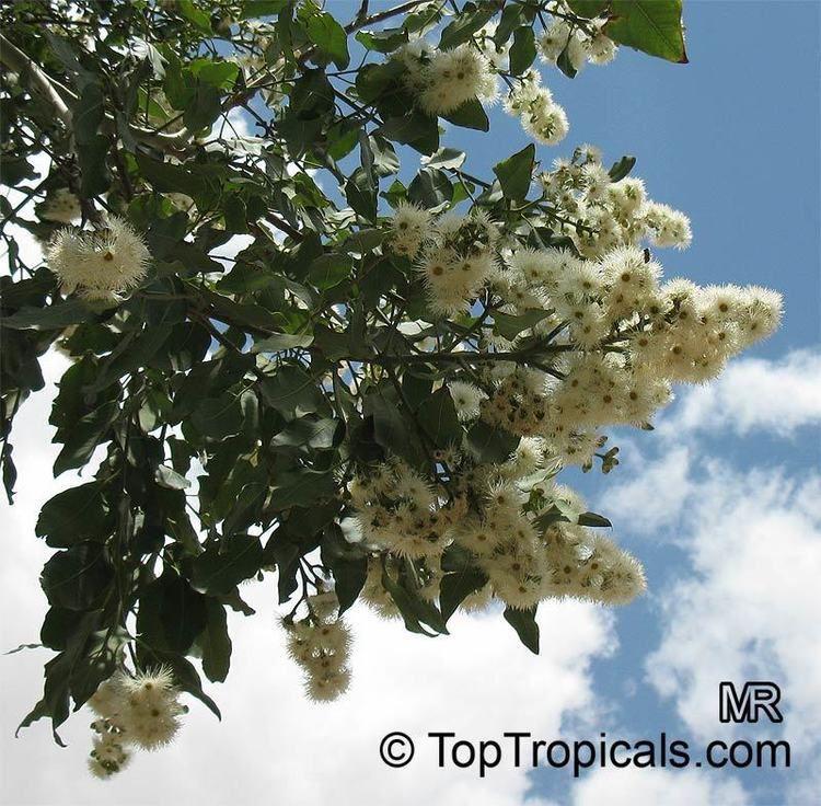 Corymbia torelliana Corymbia torelliana Eucalyptus torelliana Cadaga Cadaghi Gumtree
