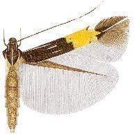 Cosmopterix mneme