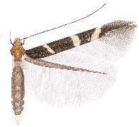 Cosmopterix trifasciella