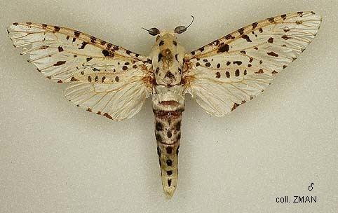 Cossidae wwwpapuainsectsnlinsect20ordersLepidopteraC