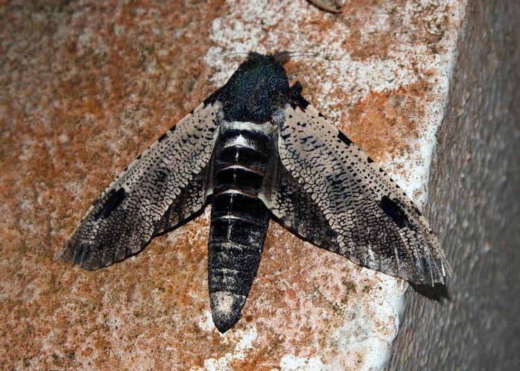 Cossidae Xyleutes Wikipedia