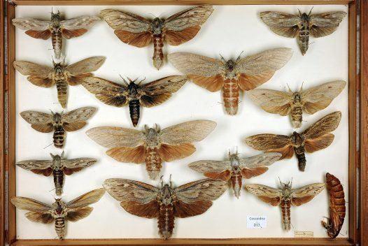 Cossidae Cossidae drawer Australian Museum