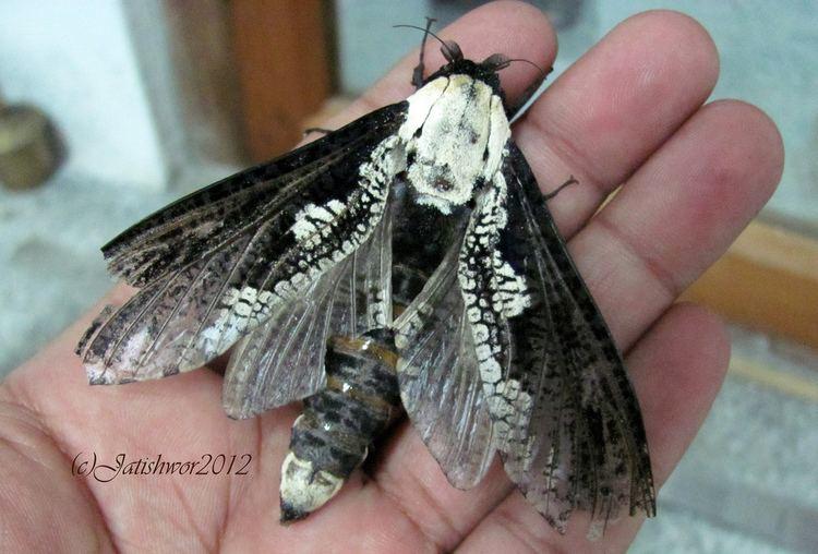 Cossidae Xyleutes persona Cossidae Mendrelgang Chirang Bhutan Flickr