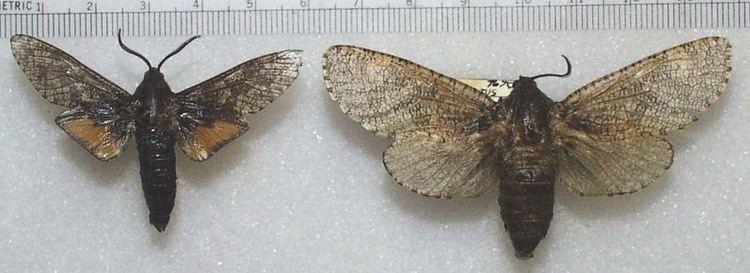 Cossidae Moths of Southeastern ArizonaPsychidae and Cossidae
