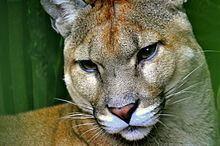 vista previa de calzado nuevo lanzamiento Costa Rican cougar - Alchetron, The Free Social Encyclopedia