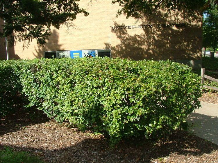 Cotoneaster lucidus Cotoneaster lucidus Hedge Cotoneaster