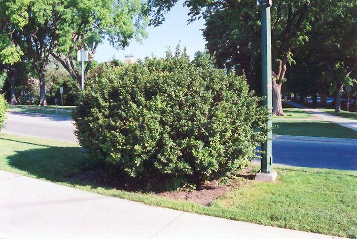 Cotoneaster lucidus Hedge Cotoneaster Cotoneaster lucidus in Minneapolis St Paul Twin