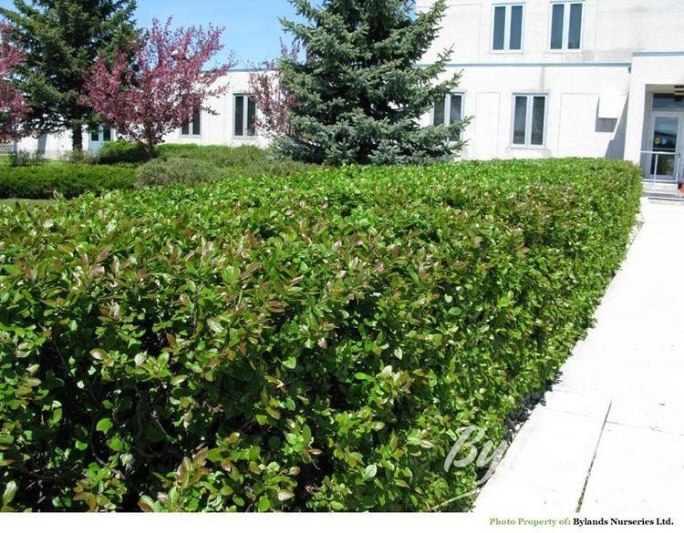 Cotoneaster lucidus Hedge Cotoneaster Cotoneaster lucidus Bylands Nurseries Ltd