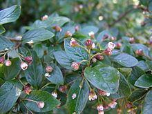 Cotoneaster lucidus httpsuploadwikimediaorgwikipediacommonsthu