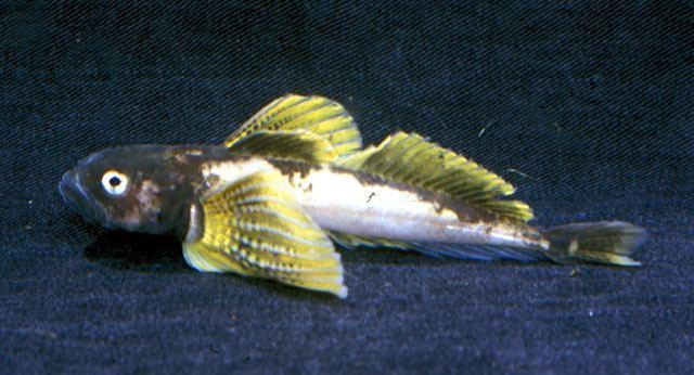 Cottocomephoridae wwwfishbaseorgimagesspeciesCogreu0jpg