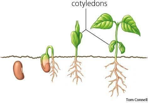 Cotyledon Cotyledon dictionary definition cotyledon defined