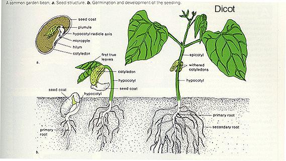 Cotyledon Plant Organization