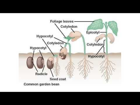Cotyledon Difference Between Cotyledon and Endosperm YouTube